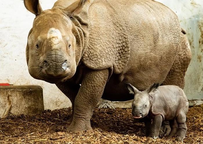 波兰弗罗茨瓦夫动物园濒危物种印度犀成功诞雌性宝宝 为155年来首次