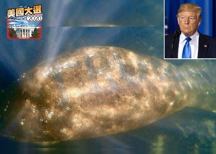 """美国佛罗里达州霍莫萨萨河一只海牛被人刻上总统特朗普姓氏""""TRUMP""""字样"""