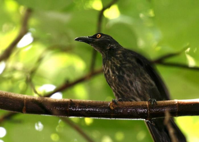美国关岛专家建防蛇杆保护椋鸟 意外发现棕树蛇新颖的爬行方式
