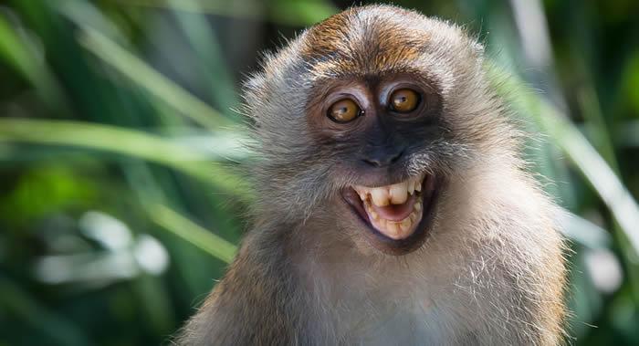 """研究发现巴厘岛的猕猴偷游客东西时会选贵重物品 以便更有机会换到可以吃的""""赎金"""""""