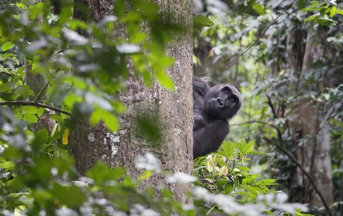 人工智能运用演算法,能为刚果盆地的研究人员辨识出25种以上的物种。照片来源:加蓬国家公园管理局脸书