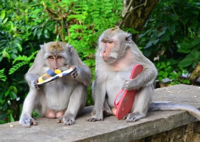 印尼峇里岛乌鲁瓦图庙猕猴能够辨别哪些是高价物品 借此勒索物主去换取更多食物