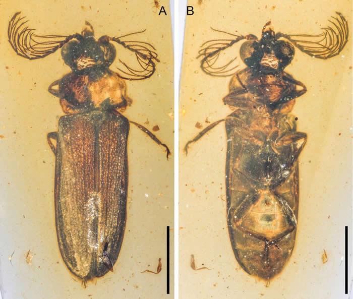 缅甸琥珀中发现叩甲总科的新科:白垩光萤科 揭示发光甲虫的早期演化