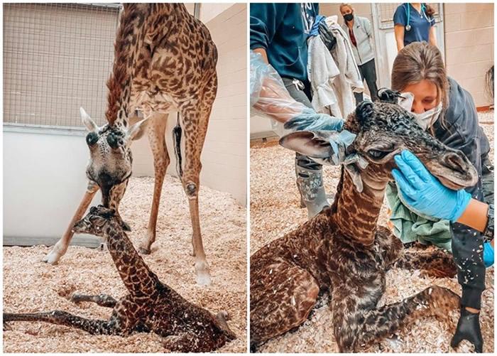 美国田纳西州纳什维尔动物园发生罕见意外:长颈鹿踩死刚出生幼崽