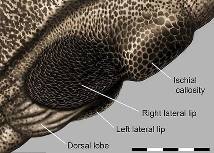 泄殖腔外缘富含黑色素。