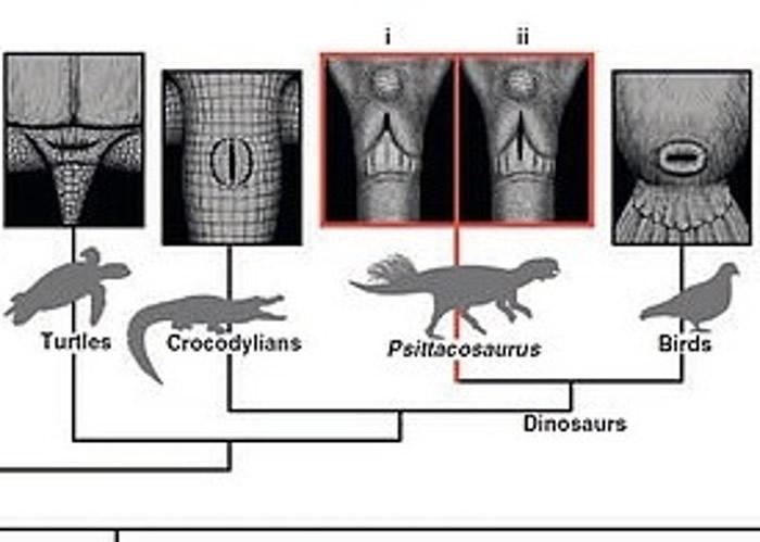 专家将鹦鹉嘴龙的泄殖腔,与鸟类和鳄鱼等现存动物比较。