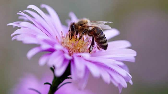 研究称人类使用的新烟碱类杀虫剂干扰蜜蜂的自然睡眠周期