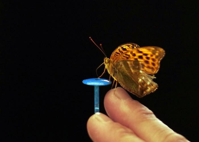 """蝴蝶拍动翅膀会形成""""袋子""""形态 以产生更多推进力加速飞行躲避捕食者"""