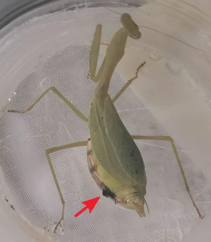 跳羚螳螂在交配前会和雌性螳螂进行激烈搏斗 胜出后获得交配权还能躲过被杀死的命运