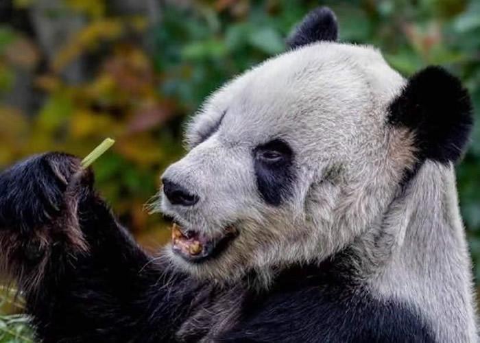 网民爆料称两只旅美大熊猫丫丫和乐乐在位于田纳西州的孟菲斯动物园疑遭虐待