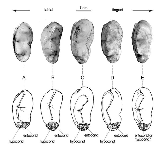 三种短吻硕鬣狗亚种的下裂齿跟座形态比较 (刘金毅 供图)