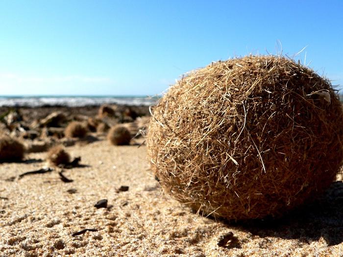 地中海特有海草形成的纤维球,每年冲刷至沿岸沙滩上,又被称为「egagropili」或「海王星球」(Neptune balls)。图片来源:Ezu (Martin