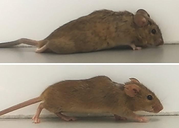 大脑注入经设计的基因蛋白细胞激素 瘫痪小鼠3周后恢复行走