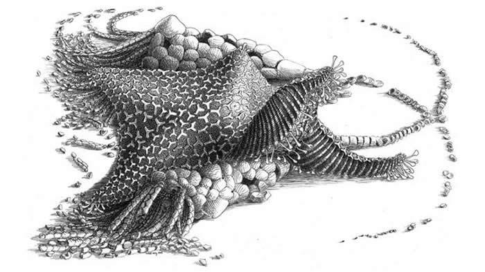 4.8亿年前的Cantabrigiaster fezouataensis可