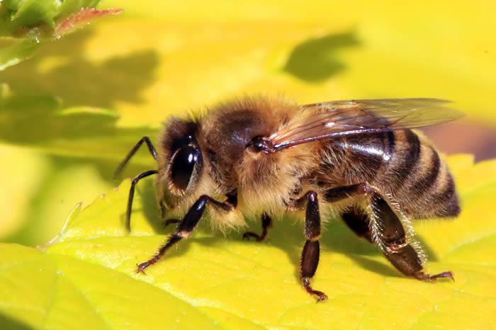 《Cell Press》:人类过度依赖杀虫剂 地球上蜜蜂物种的多样性正在迅速减少