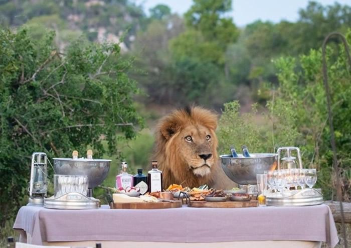 南非克鲁格国家公园游客美食芳香扑鼻 雄狮不请自来吓跑众人