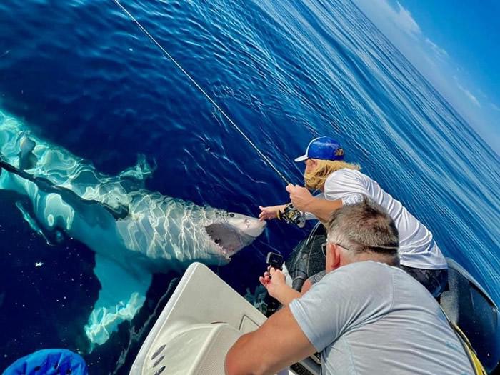 """美国佛罗里达州4.2米长大白鲨抢鱼饵 更翻身游泳似央求""""搓肚子"""""""