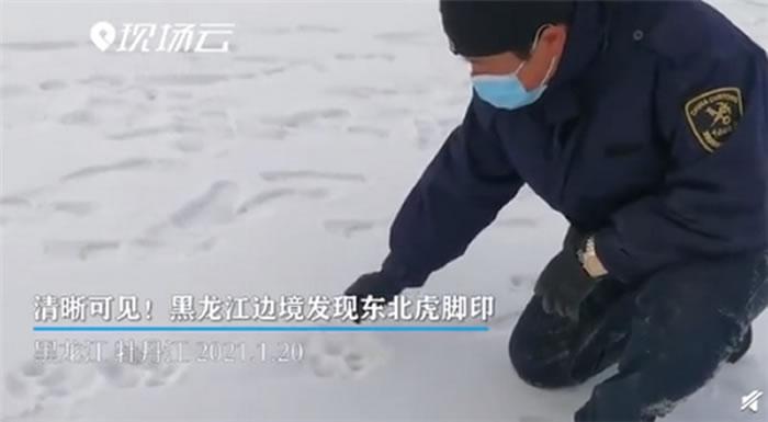黑龙江省虎林市边境地区发现野生雌性幼年东北虎脚印