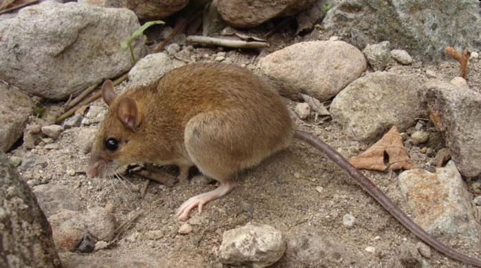 科学家重新发现一种被认为已经灭绝的稀有火山鼠
