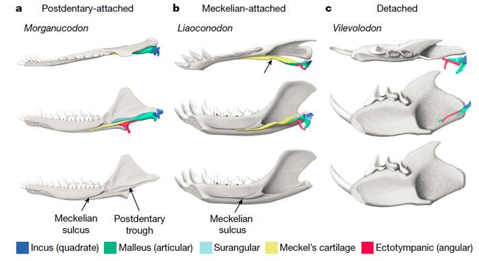 a,通过下颌后方骨骼与下颌相连的中耳(postdentary-attached middle ear); b, 通过麦氏软骨与下颌相连的中耳( Meckelia