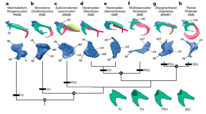 哺乳动物砧骨-锤骨关节演化关系图