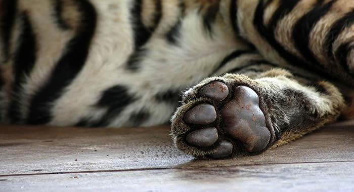 俄罗斯总统普京曾参与放归的阿穆尔虎乌斯京不喜欢动物园访客