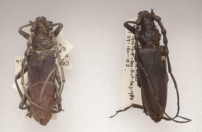 英国伦敦自然历史博物馆抽屉中找到有近4000年历史的Oak Capricorns甲虫标本