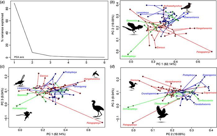 中生代鸟类体型空间分布(王敏 供图)