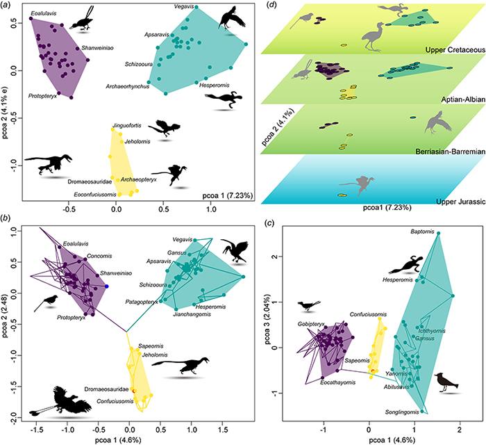 中生代鸟类形态空间(离散特征)分布 (王敏 供图)
