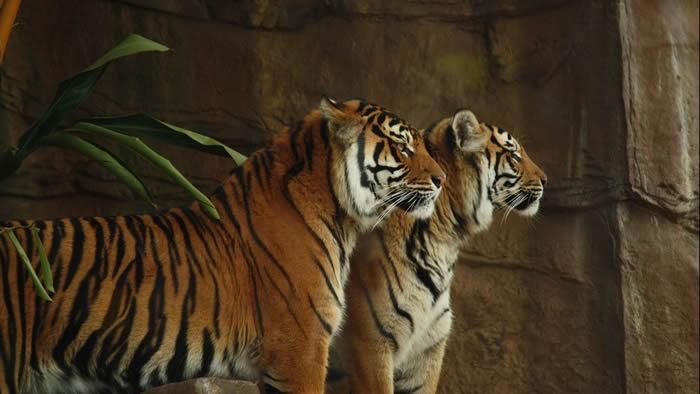 印尼婆罗洲辛卡动物园2只苏门答腊虎逃跑 管理员惨被咬死