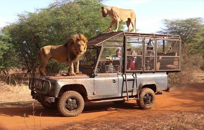 """非洲塞内加尔""""班迪亚牧场""""动物园笼车供游客乘坐 让狮子能自由自在的欣赏人类"""