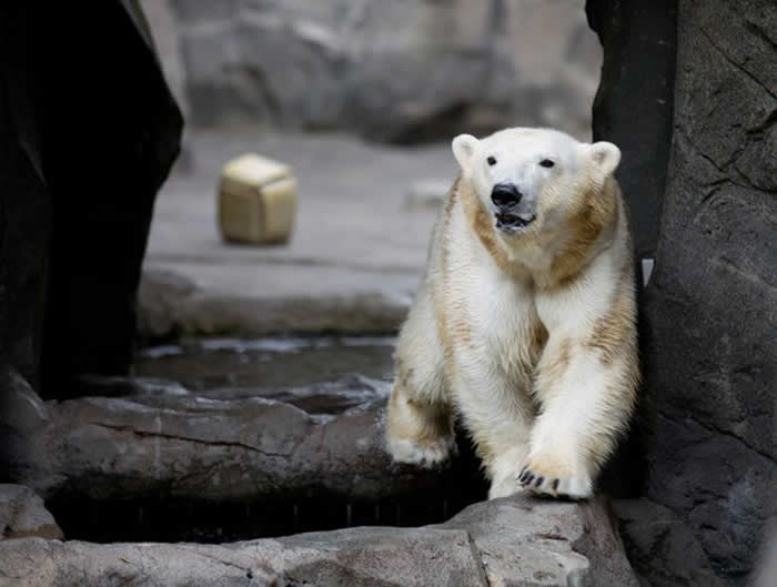 美国底特律动物园公熊在交配的过程中太过激烈 造成母熊不幸死亡