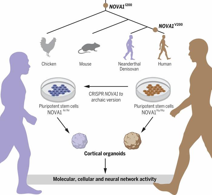研究人员创造小型类脑器官 含有灭绝的人类近亲——尼安德特人和丹尼索瓦人的基因变体
