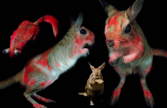 能在紫外光下改变皮毛颜色的啮齿动物Springhares