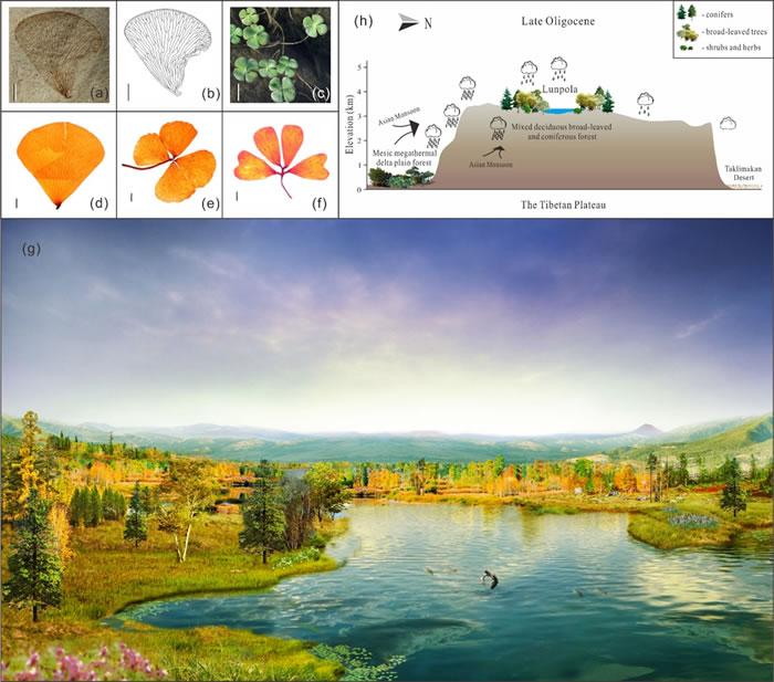显示化石(a-b)和现存(c-f)的小型挺水植物——蕨类苹属,重建的晚渐新世(距今约24百万年)伦坡拉古湖周围暖温带针阔混交林植被和生态系统(g),以及高原中部