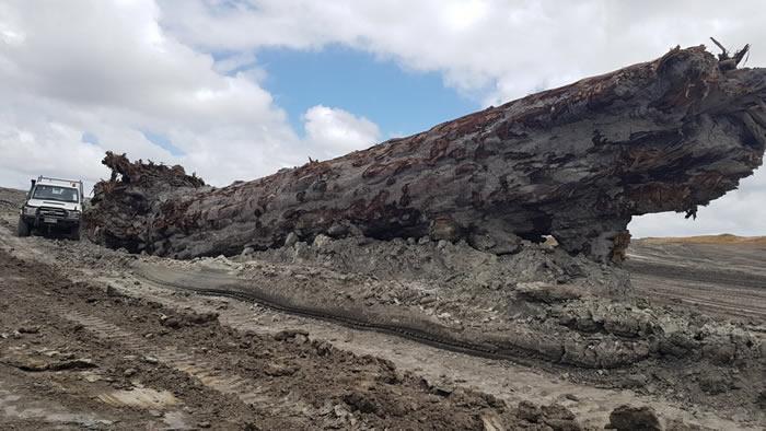 古树化石揭示42000年前地球磁场的破坏引发重大气候变化