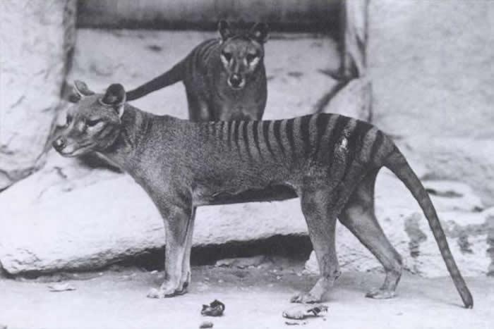 澳大利亚有人声称在塔斯马尼亚的摄像头陷阱中发现已灭绝的塔斯马尼亚虎(袋狼)