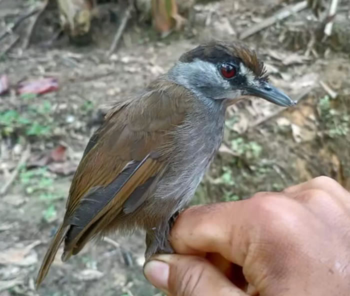 """印尼婆罗洲发现消失170年的神秘画眉鸟""""黑眉雅鹛"""""""