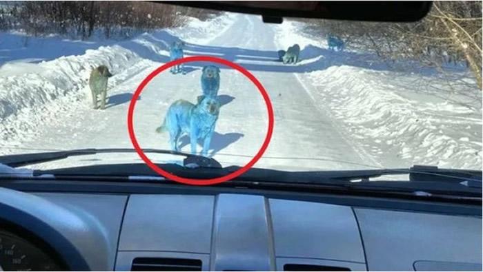 俄罗斯捷尔任斯克市废弃化工厂惊现7只蓝色流浪狗 疑遭有害化学物质染色