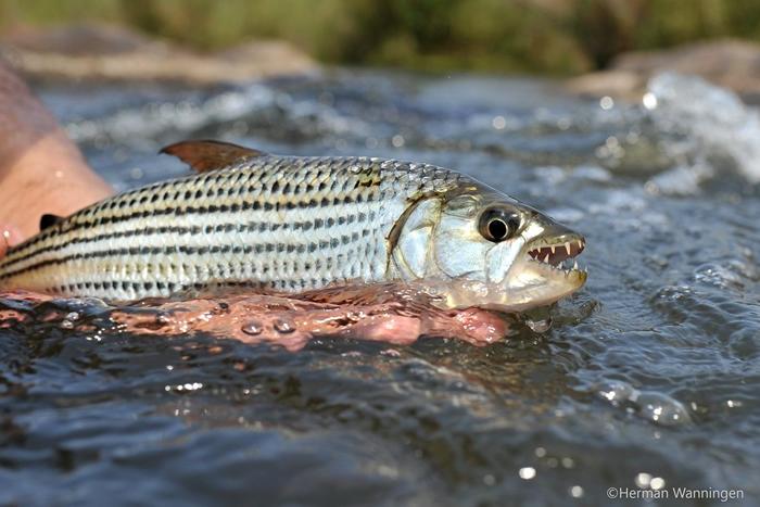 生活在非洲淡水河流域的虎鱼。照片来源:WWF