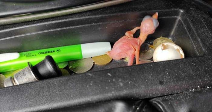 马来西亚马六甲地区男子捡到鸟蛋放在汽车里 2天后竟然孵出小鸟