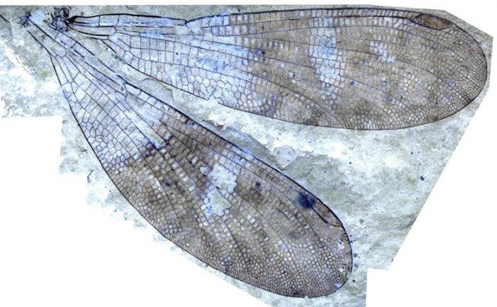 150多年来一直错误地归类为豆娘的化石原来是新昆虫Cephalozygoptera