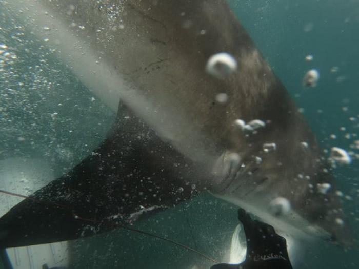 新西兰少年出海潜水用鱼枪猎得的马鲛鱼竟被短尾真鲨抢去