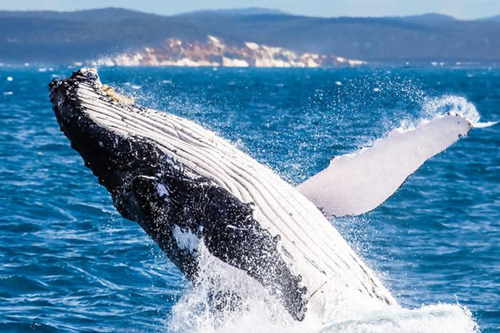 鲸鱼杰出的抗癌能力可能来自于它们的基因