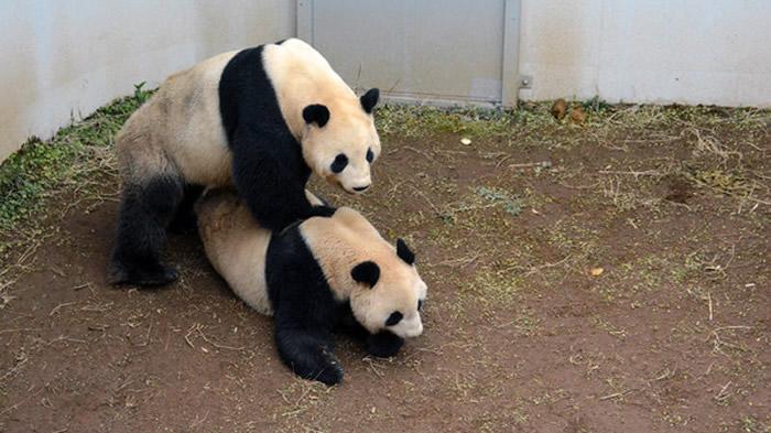 日本东京上野动物园的大熊猫真真和力力4年来首次交配