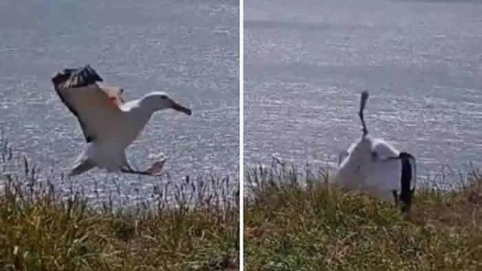 直播新西兰南岛信天翁着陆摔个狗吃屎
