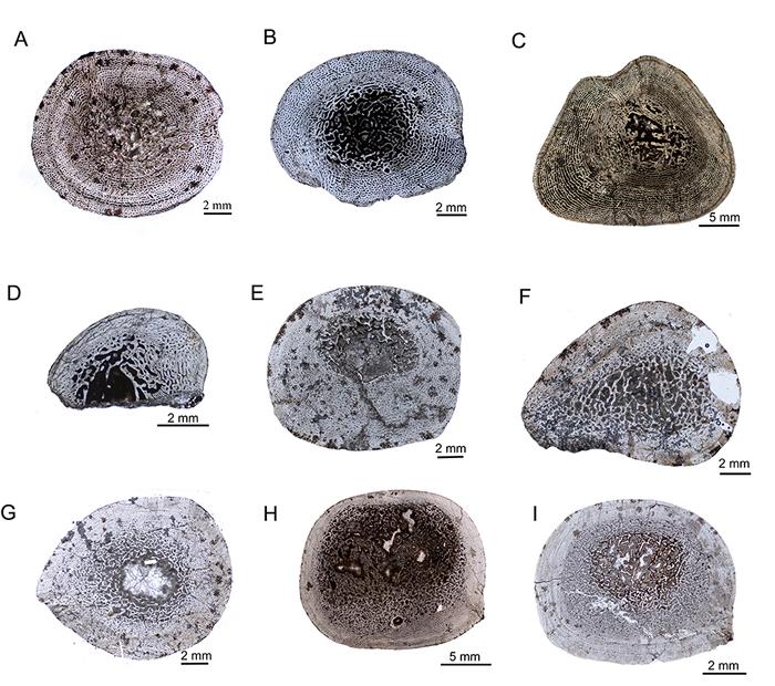 新疆水龙兽的骨组织显微结构
