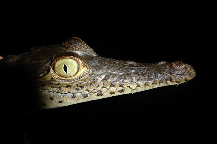 研究发现古代鳄鱼在数百万年时间里经历快速进化