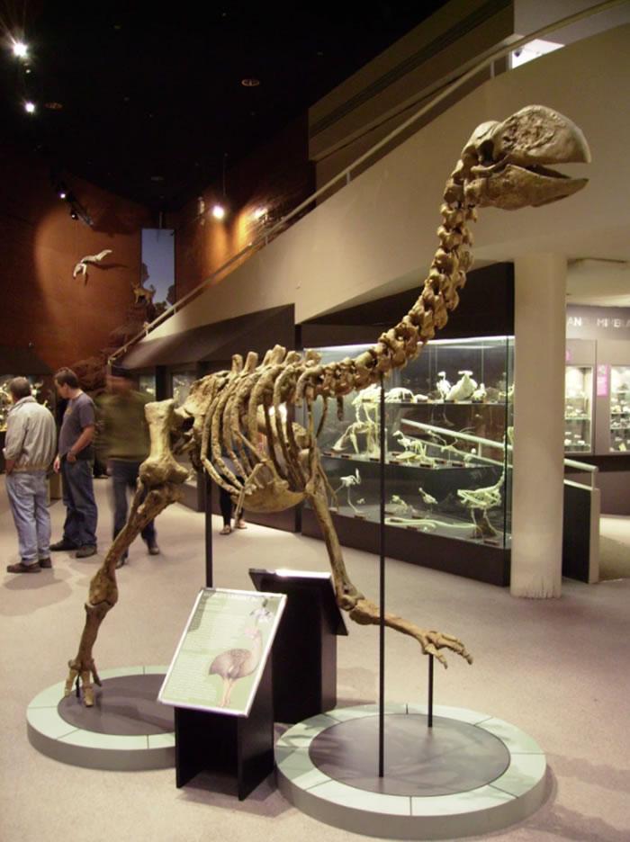 """已灭绝的雷啸鸟家族不飞鸟类头骨化石揭示""""极端进化实验"""""""