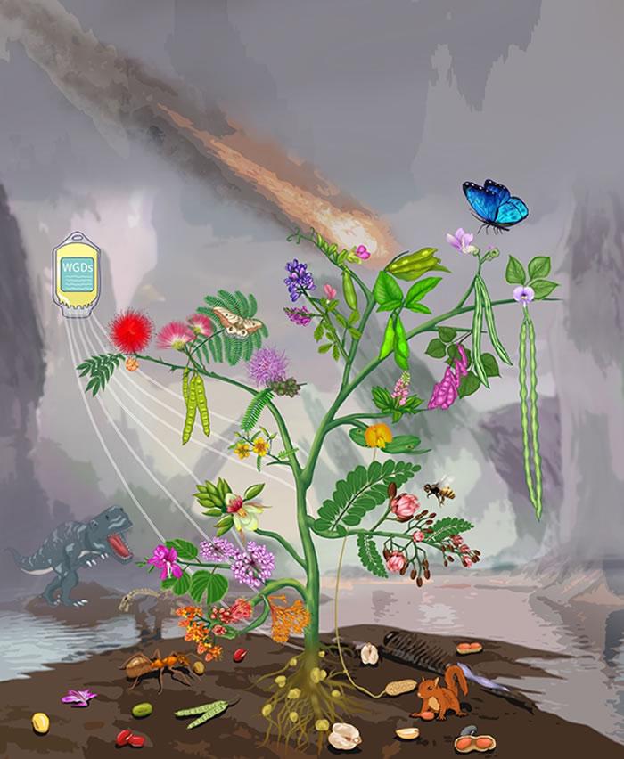 展示本研究的总结图,使用了部分的豆科物种的的花、果实、叶子来代表豆科的系统发育关系。这棵树的共有六个枝杈,分别代表豆科的六个亚科:树的左下到右上依次展示了甘豆亚